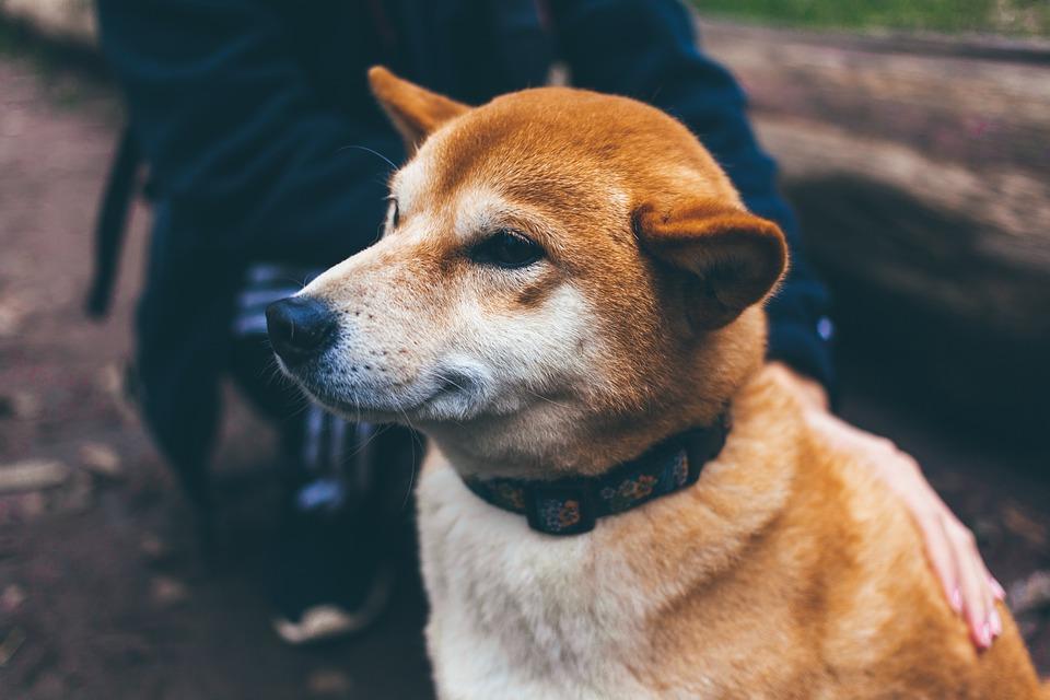 collier GPS pour chien : l'accessoire indispensable pour la chasse